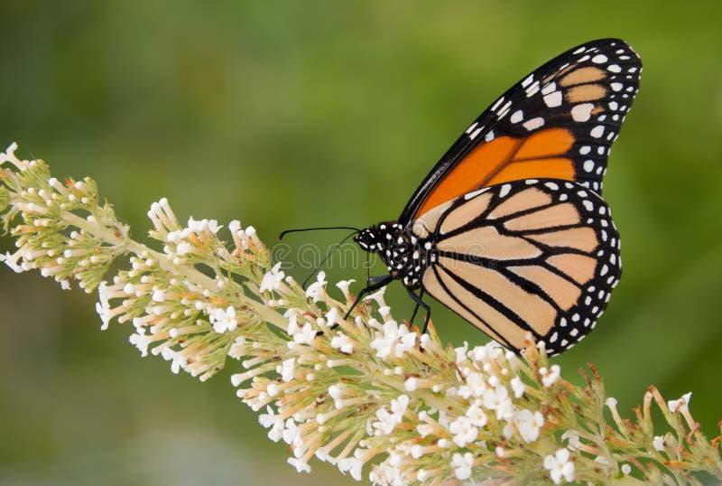 Papillon de monarque alimentant sur une fleur blanche image stock