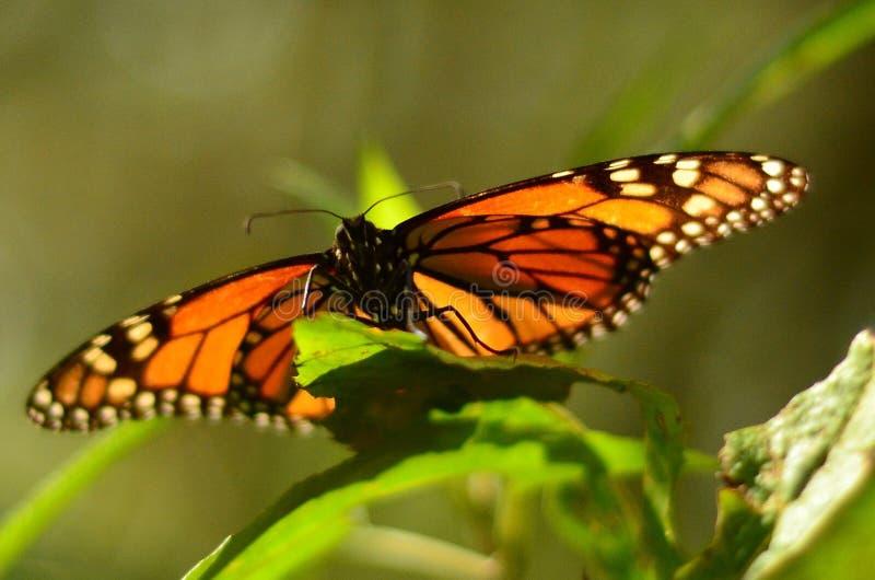 Papillon de monarque au Mexique photo libre de droits