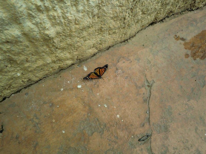 Papillon de monarque au sol image stock
