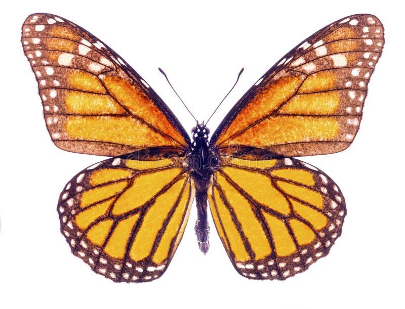 Papillon de monarque d'isolement image libre de droits