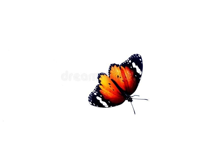 Papillon de monarque, d'isolement sur le fond blanc images stock