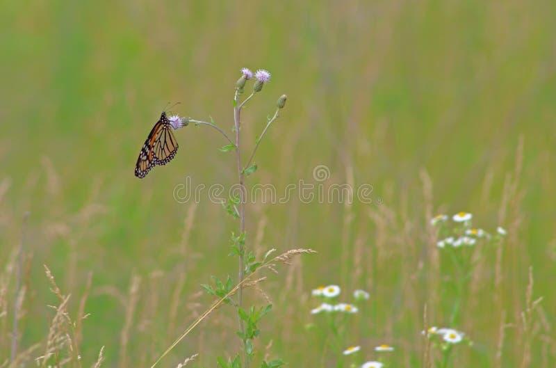 Papillon de monarque dans le pr? photographie stock libre de droits