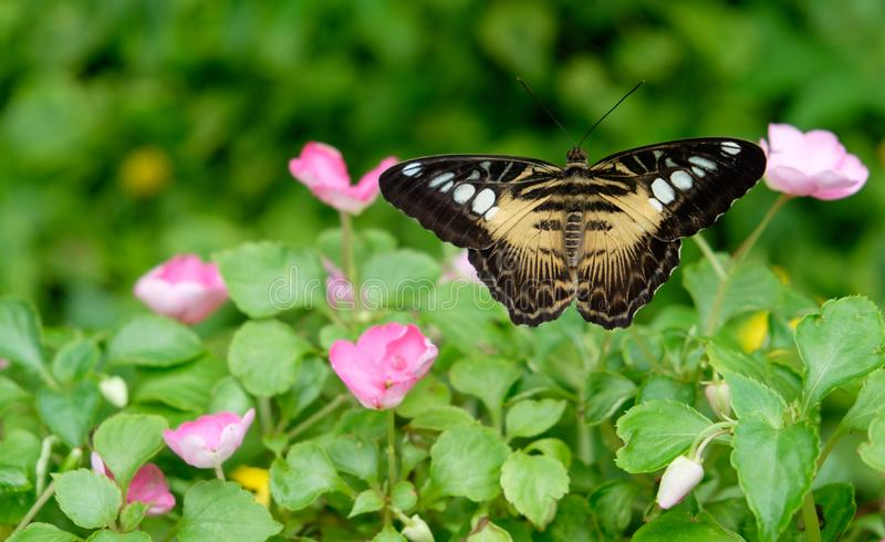 Papillon de monarque dans un jardin image libre de droits
