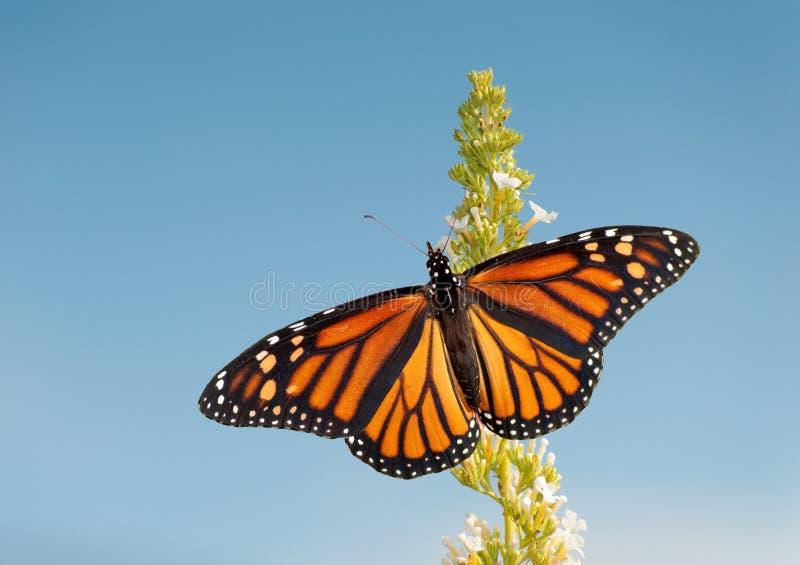 Papillon de monarque féminin alimentant sur la fleur blanche photographie stock libre de droits