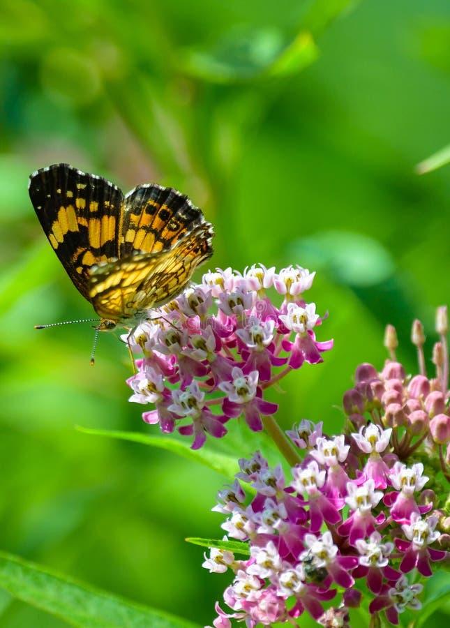 Papillon de monarque jaune et noir sur les fleurs de rose et blanches photos libres de droits