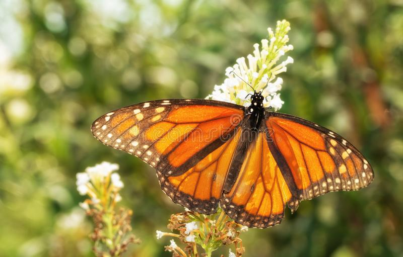 Papillon de monarque masculin de migration en automne, éclairé à contre-jour par le soleil photographie stock libre de droits