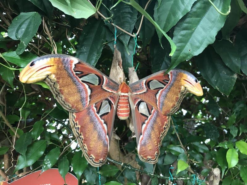 Papillon de monarque orange sur une fleur blanche images stock