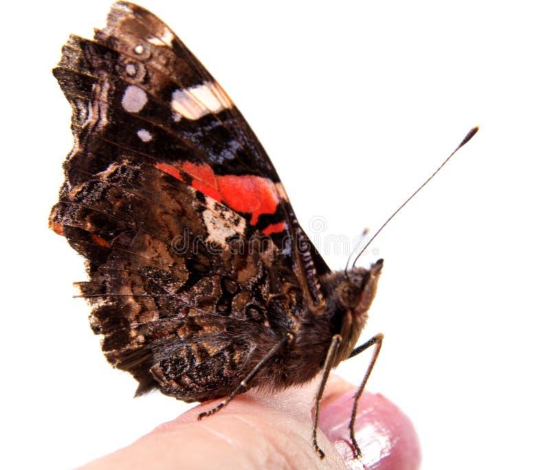 Papillon de monarque simple d'isolement sur le fond blanc photos libres de droits
