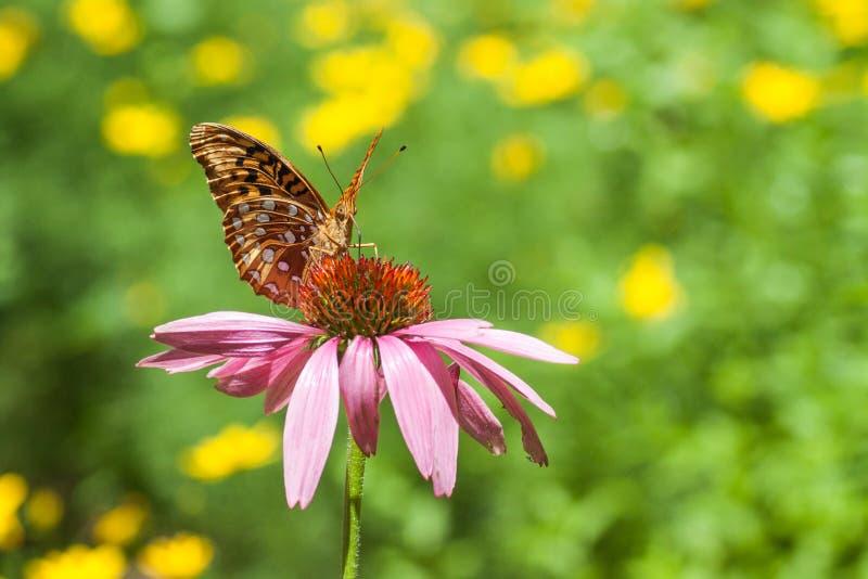 Papillon de monarque sur Coneflower pourpre image libre de droits
