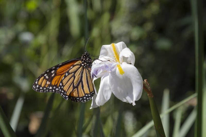 Papillon de monarque sur l'iris sauvage blanc photo libre de droits