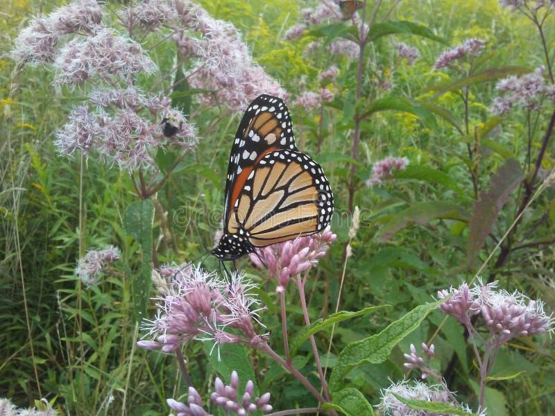 Papillon de monarque sur l'mauvaise herbe de joepye photo libre de droits