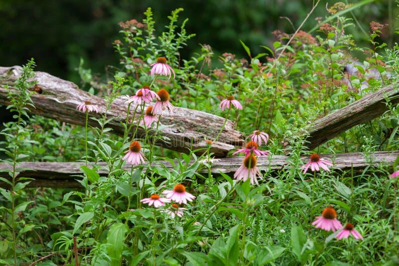 Papillon de monarque sur la fleur d'echinacea, décrite devant une vieille barrière photo libre de droits