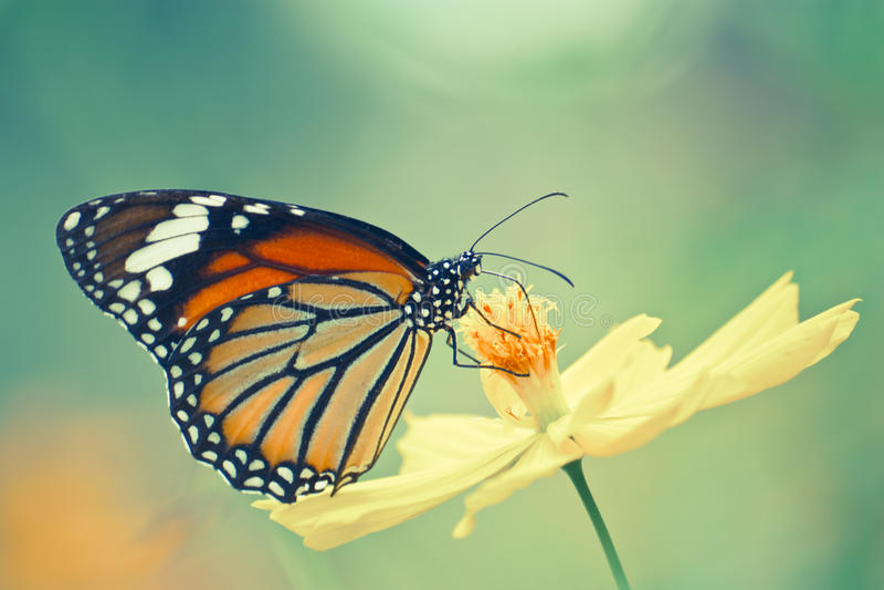 Papillon de monarque sur la fleur de cosmos images libres de droits
