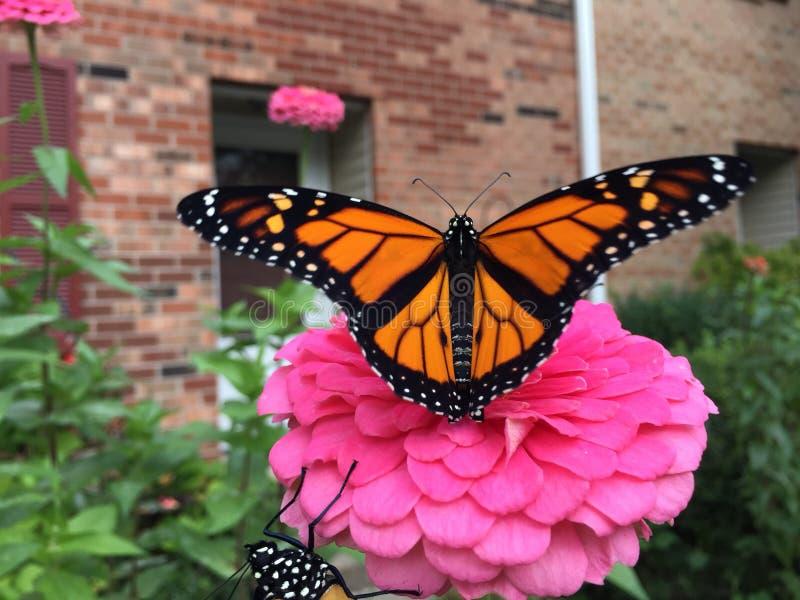 Papillon de monarque sur la fleur rose de zinnia dans le jardin devant la maison avant de brique images libres de droits