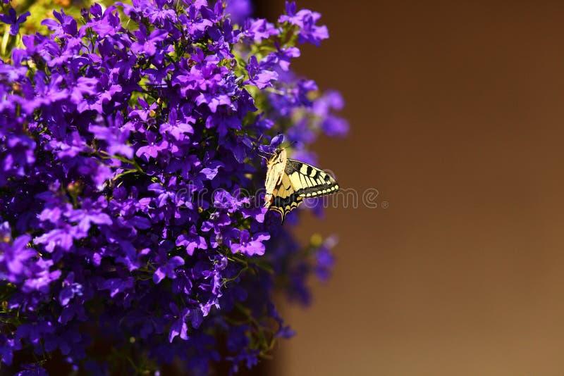 Papillon de monarque sur les fleurs bleues image stock