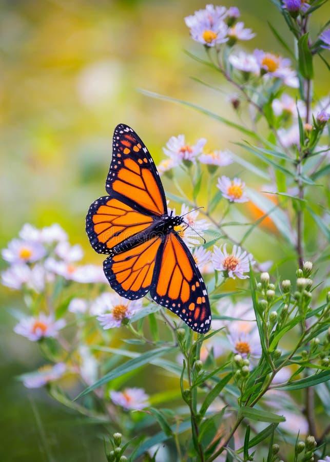 Papillon de monarque sur une fleur en été images libres de droits