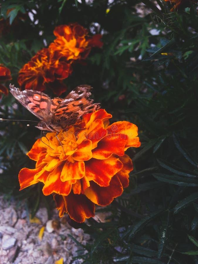Papillon de mouche photographie stock