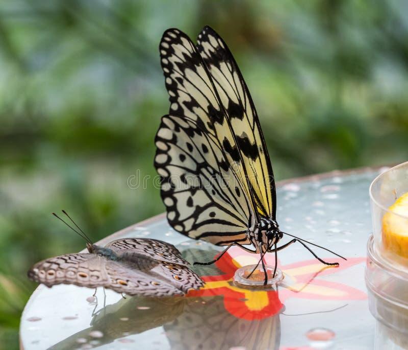 Papillon de nymphe d'arbre ou papillon de papier de riz, leuconoe d'id?e sur des fleurs photos stock