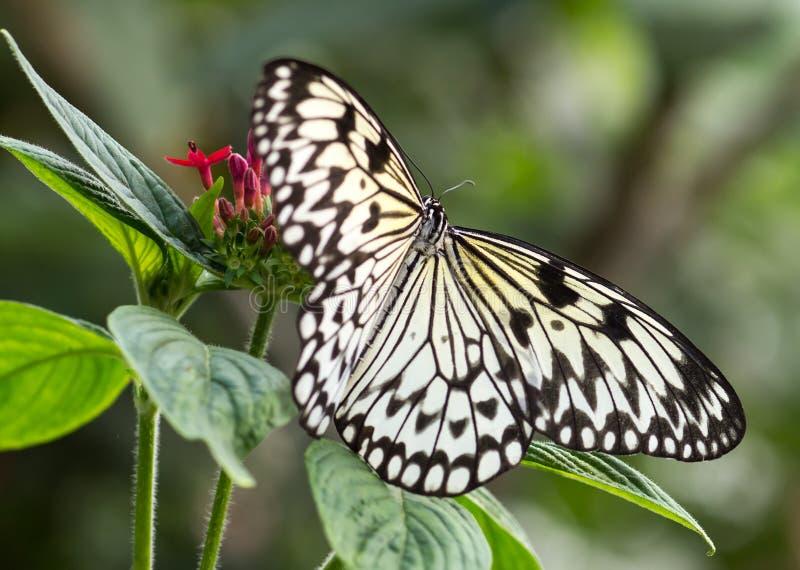 Papillon de nymphe d'arbre sur la fleur photographie stock libre de droits