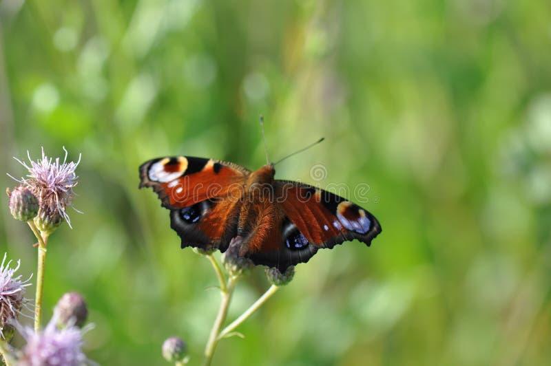 Papillon de paon photo stock