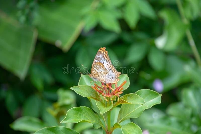 Papillon de paon blanc photographie stock