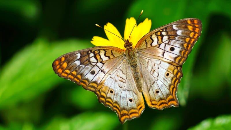 Papillon de paon coloré