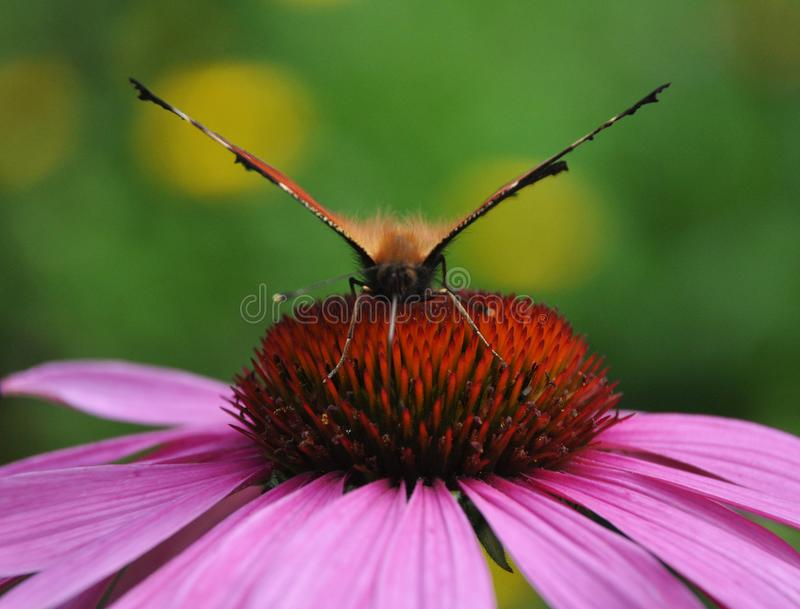 Papillon de paon sur le coneflower pourpre photos libres de droits