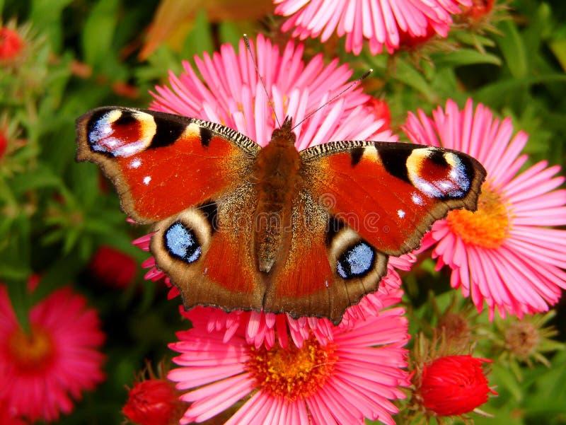 Papillon de paon sur un aster photos stock