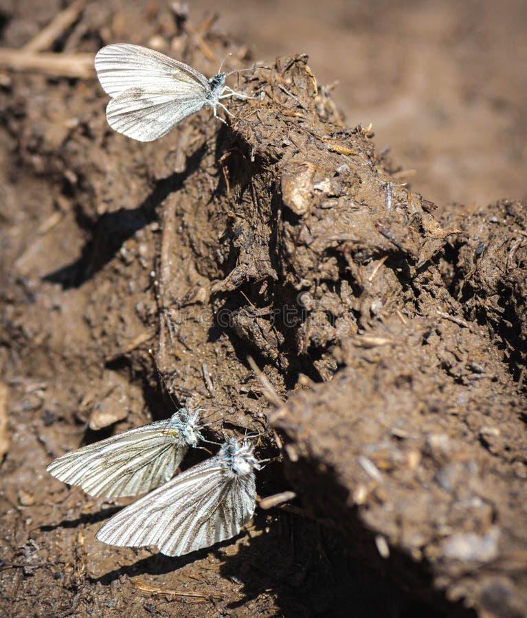 Papillon de Pieridae au sol après la pluie Papillons chou ou citron dans la saleté photographie stock libre de droits