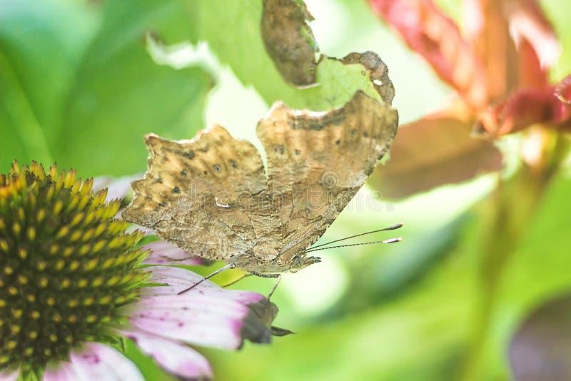 Papillon de plan rapproché sur l'imitation pourpre orientale de coneflower sur les ordures de feuille, papillons migrateurs volan images libres de droits