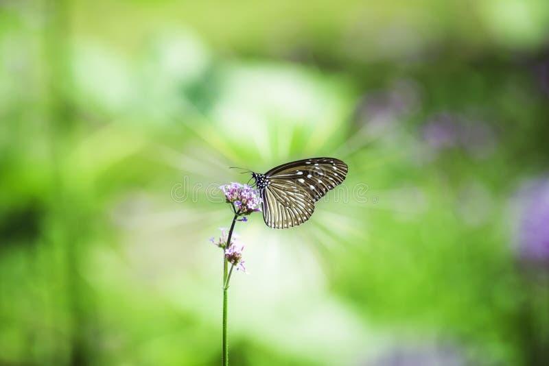 Papillon de plan rapproché sur la fleur avec la lumière du soleil, le tigre vitreux foncé image stock
