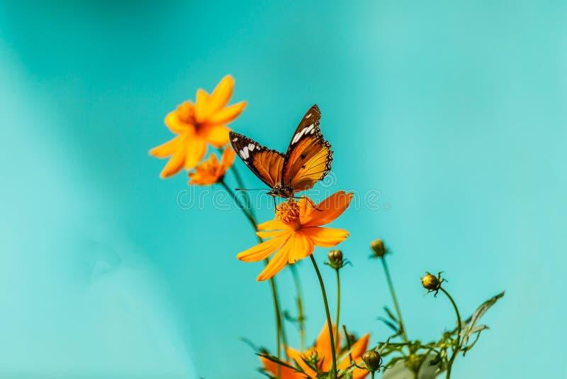Papillon de plan rapproché sur la fleur et le x28 ; Butterfly& commun x29 de tigre ; image libre de droits