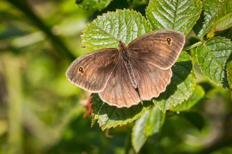 Papillon de portier images libres de droits