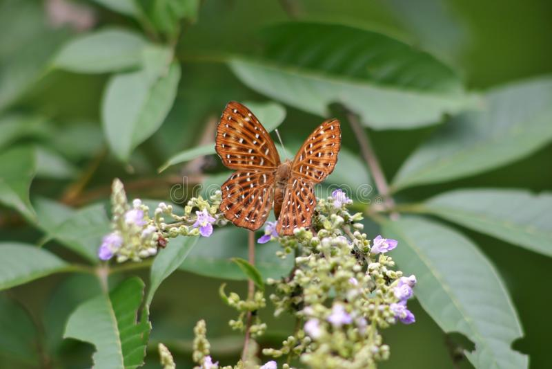 Papillon de Punchinello photographie stock libre de droits