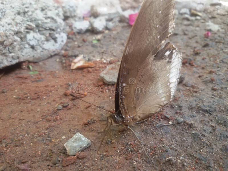 Papillon de Ranti image libre de droits