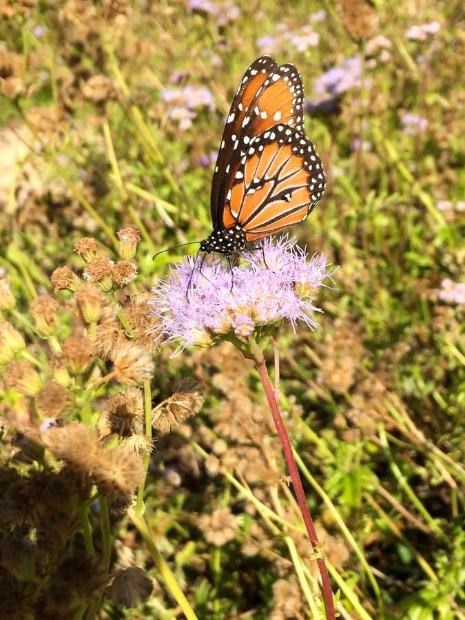 Papillon de reine image libre de droits