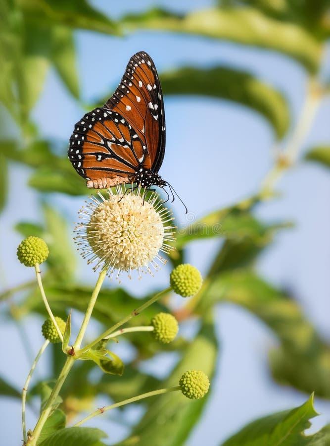 Papillon de reine sur des fleurs de buttonbush image libre de droits