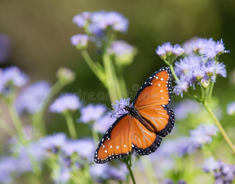 Papillon de reine sur Greggs Mistflowers photos libres de droits