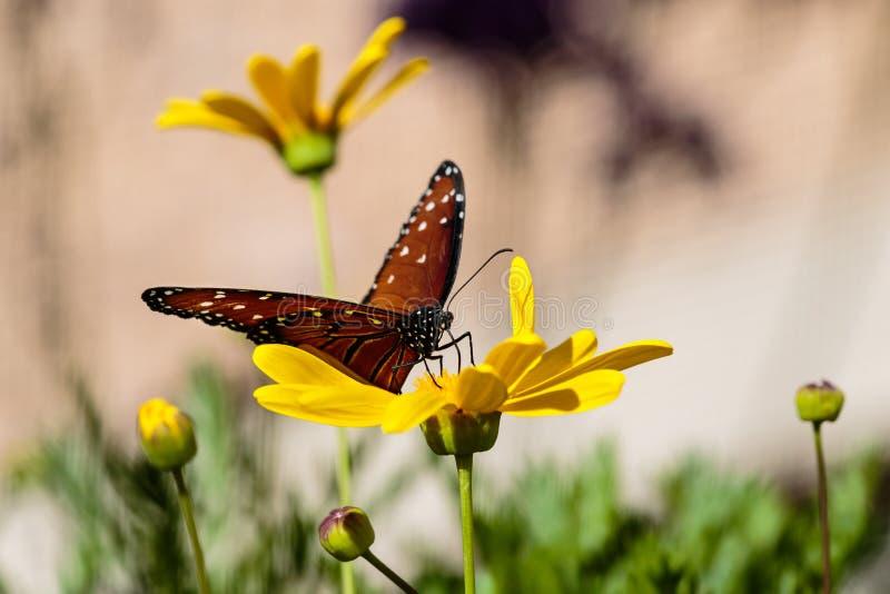 Papillon de reine sur la fleur jaune images stock