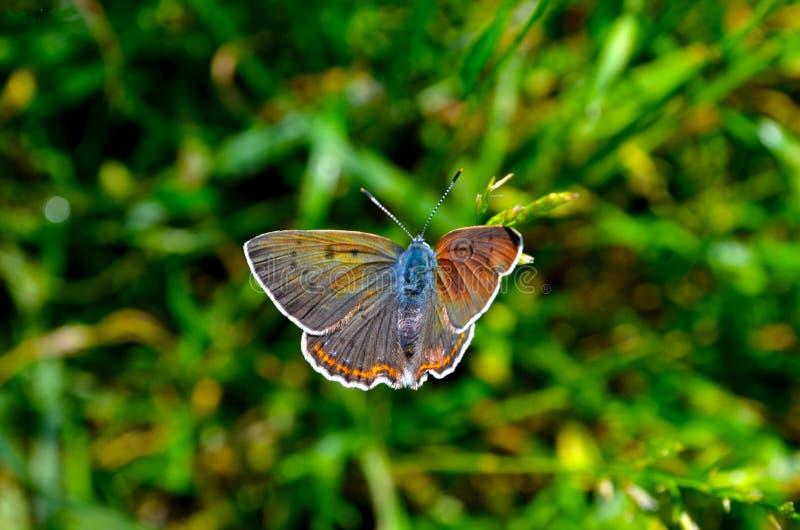 Papillon de ressort images stock