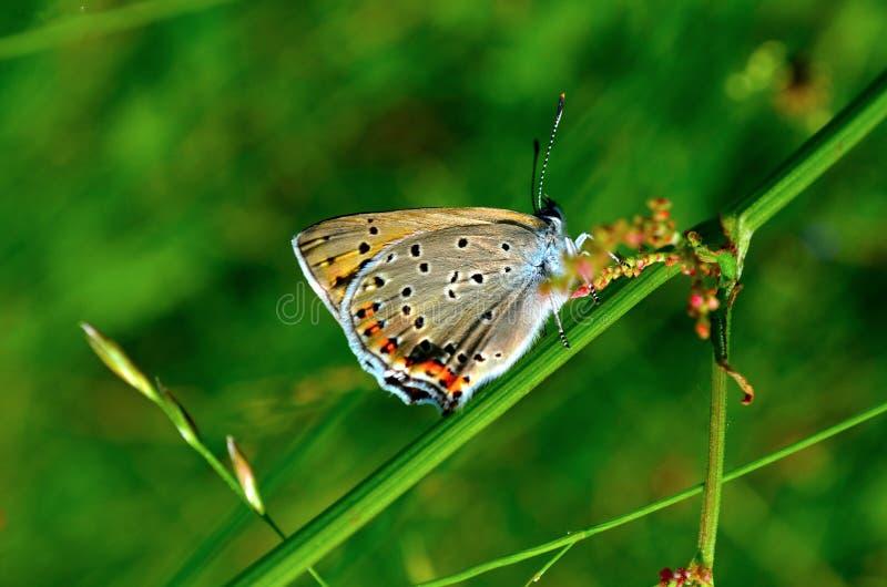 Papillon de ressort images libres de droits