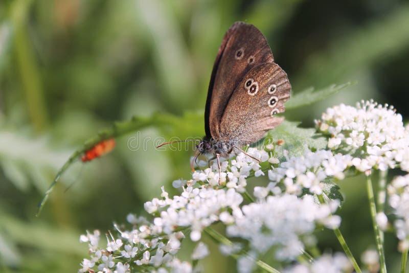 Papillon de ressort sur une fleur image stock
