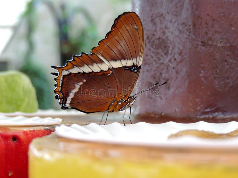 Papillon de Siproeta Epaphus ? l'int?rieur du jardin de papillon de Duba? photo stock