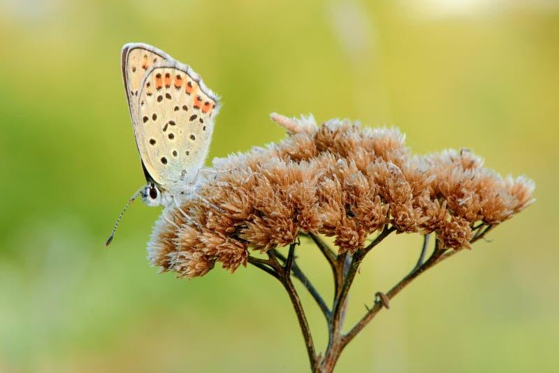 Papillon de sommeil se reposant sur l'herbe sèche au crépuscule - plan rapproché image stock