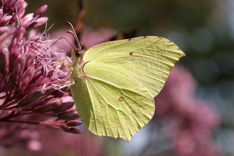 Papillon de soufre photos libres de droits
