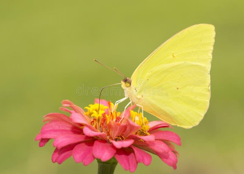 Papillon de soufre sans nuages masculin magnifique et brillamment jaune image libre de droits
