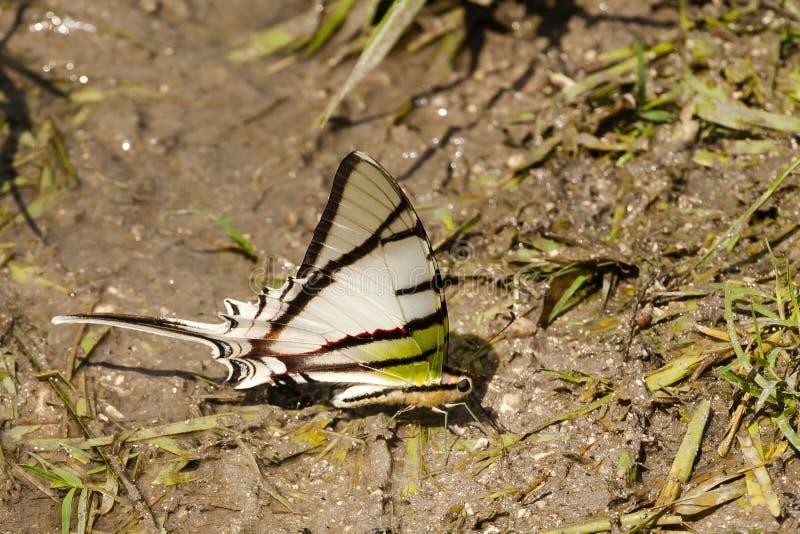 Papillon de Swordtail de Rothschild sur Mudflat photos stock