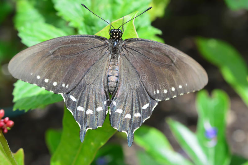 Papillon de tournesol et de malachite de la Floride photographie stock