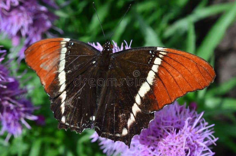 Papillon de tournesol et de malachite de la Floride photo libre de droits