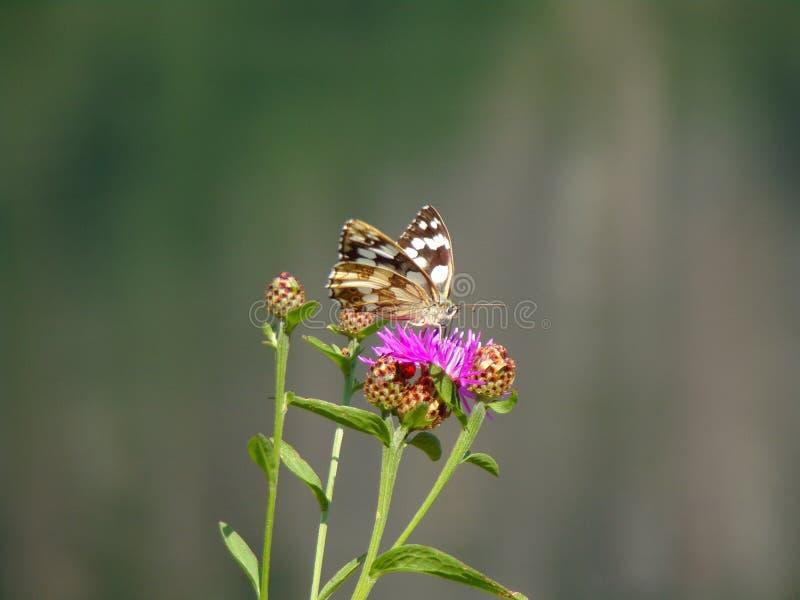 Papillon de vallée d'Antrona photo libre de droits